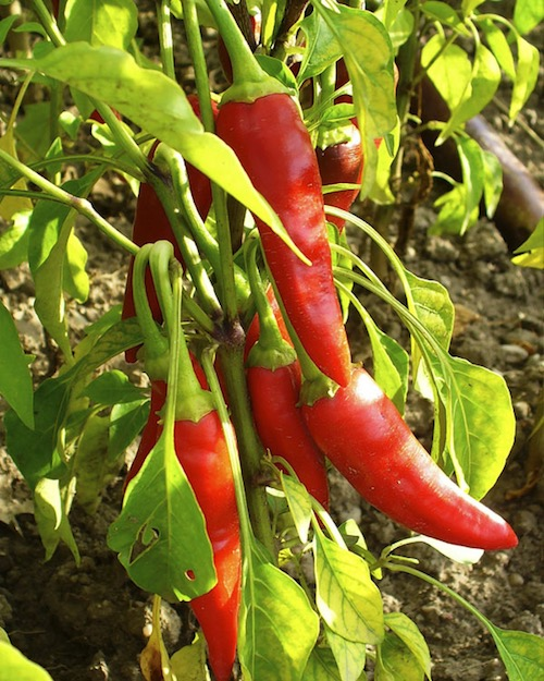 ingredient-cayenne