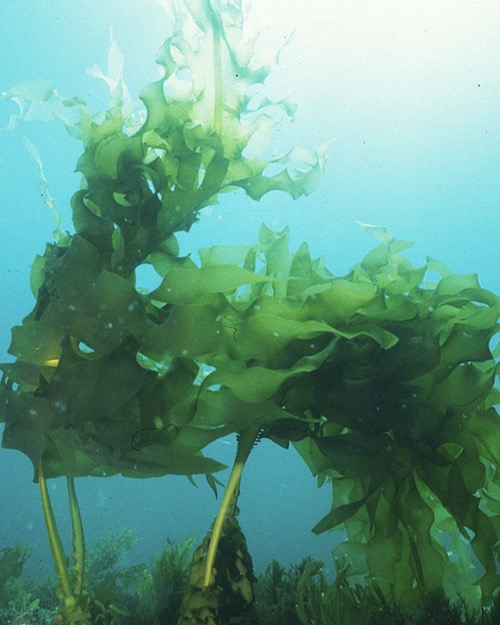 ingredient-kelp